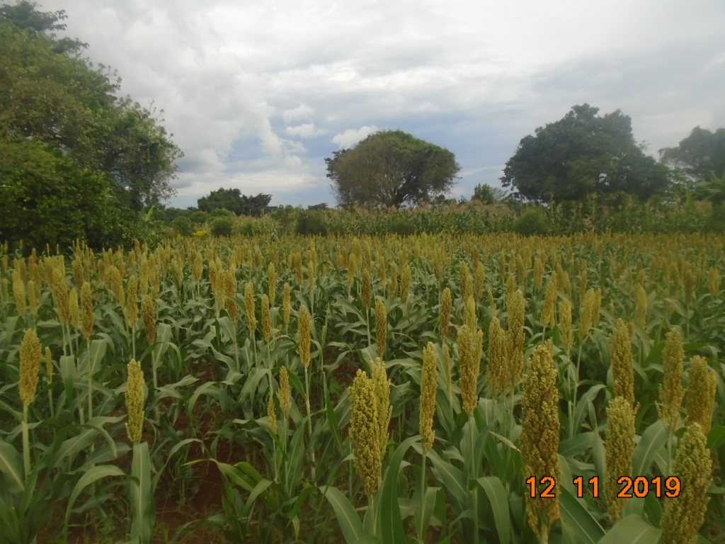 Our farmers's sorghum at flowering stage
