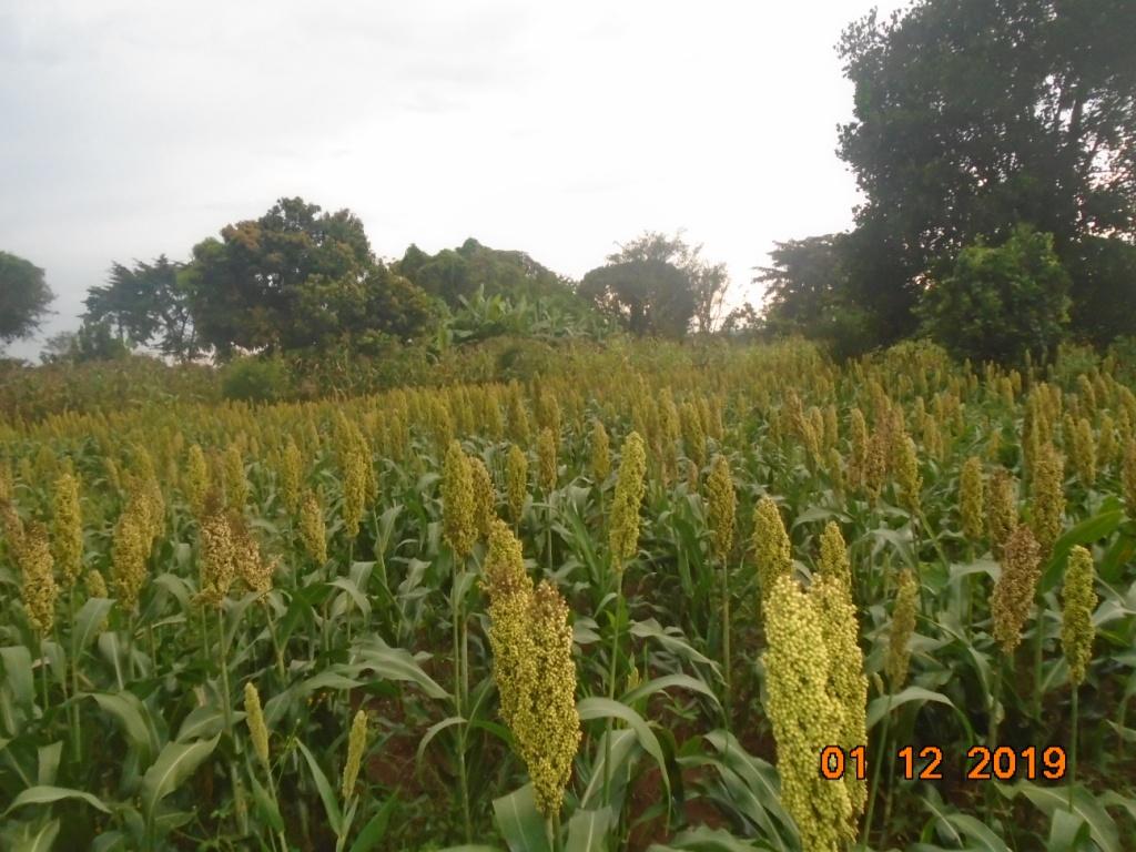 Sorghum flowering