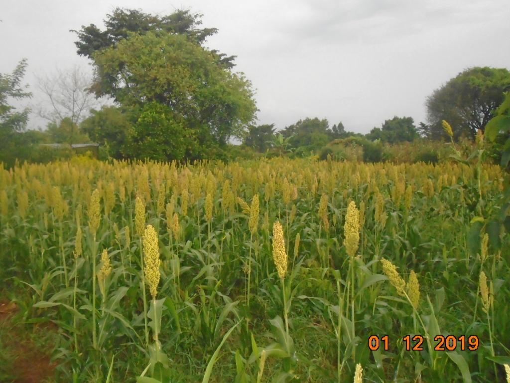Sorghum at flowering stage