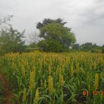 Sorghum at flowering stage