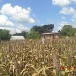Sorghum harvesting begins