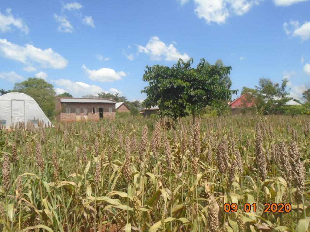 sorghum ready for harvest