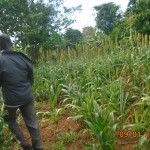 His sorghum was planted late - not yet ready for harvest