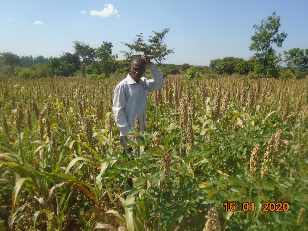 A sorghum field ready for harvesting